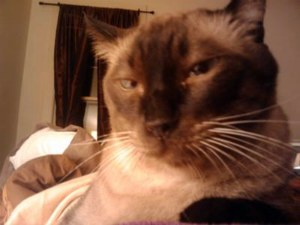 Siamese cat looking like a Mogwai